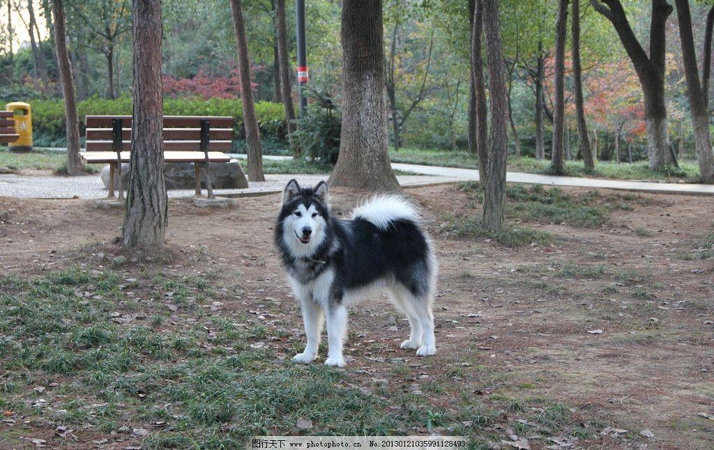 阿拉斯加 犬 宠物狗 小狗狗 小动物 犬类图片 萌 可爱 蠢 摄影