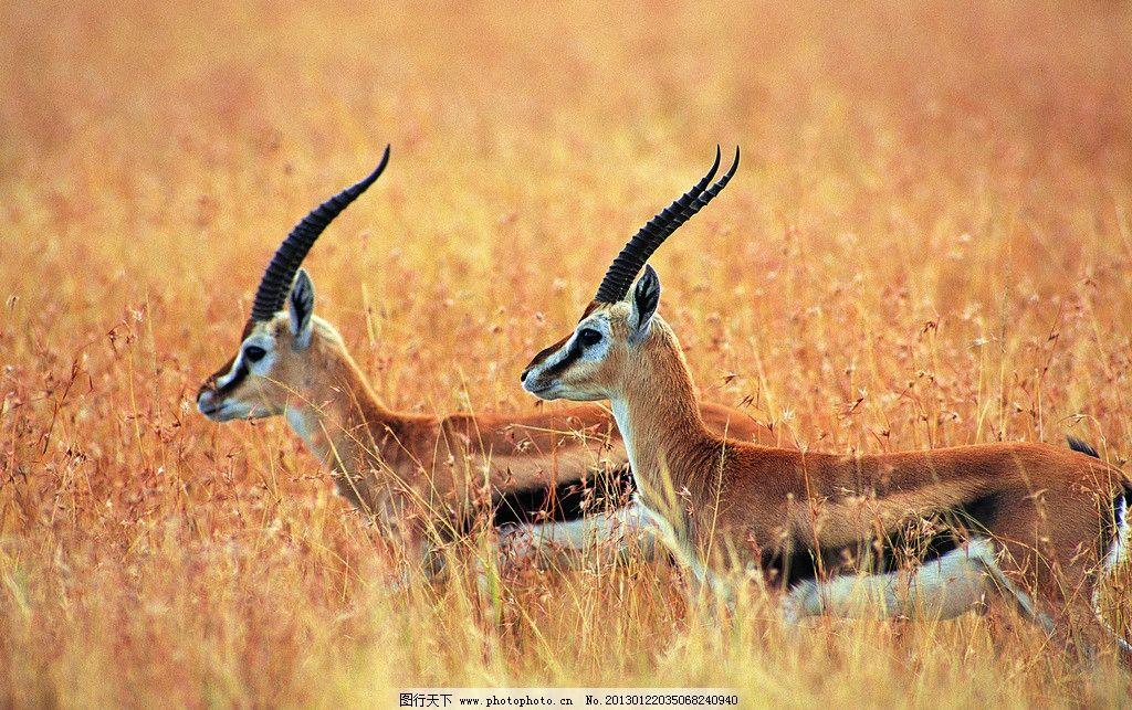 羚羊 瞪羚 非洲大草原