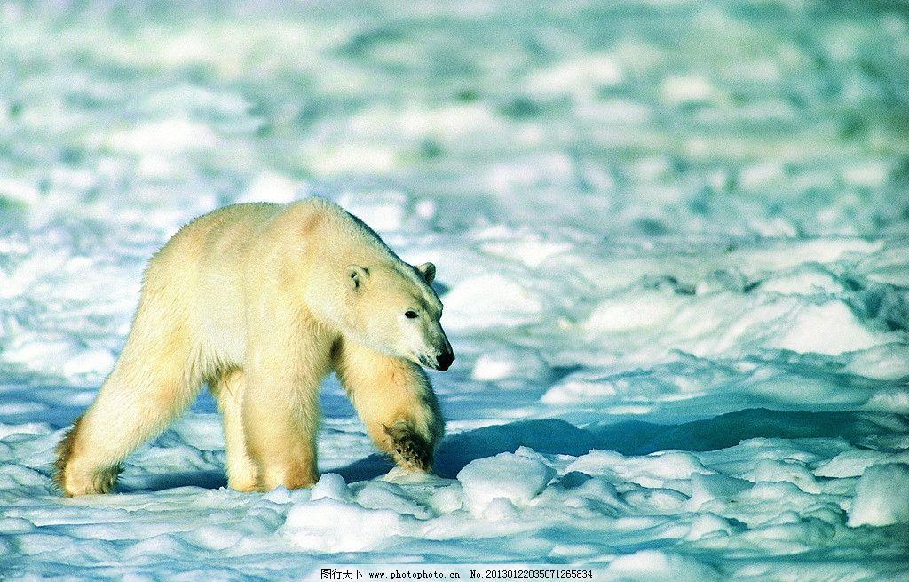 北极熊图片_野生动物_生物世界