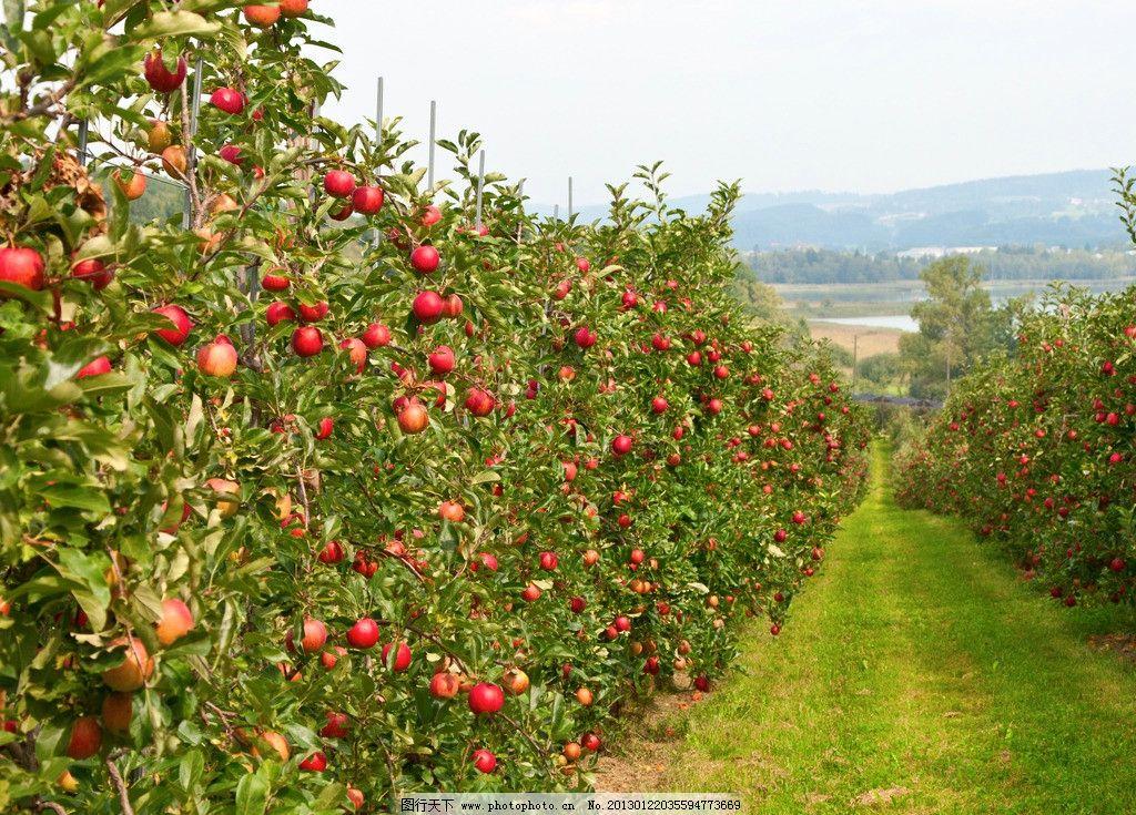 苹果园 苹果树 水果 绿叶 叶子 草地 生物世界 摄影图片