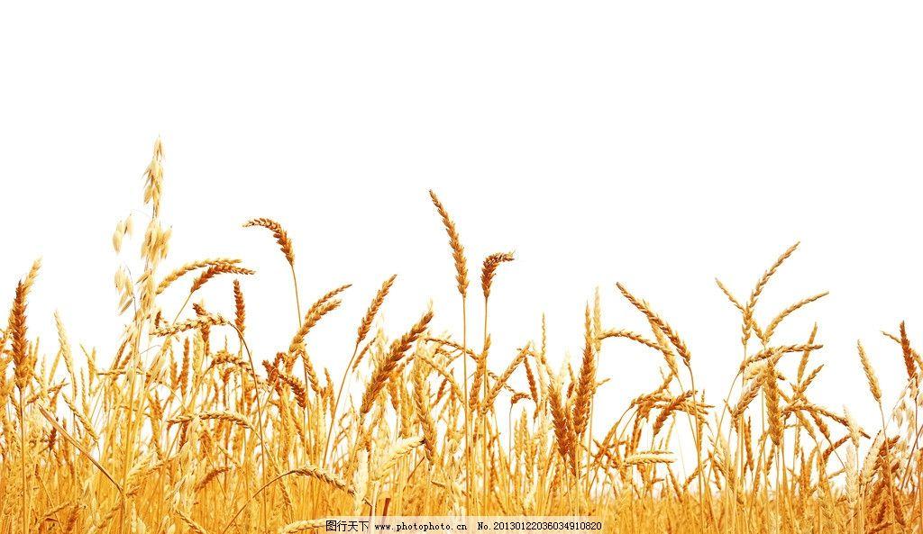 秋天小麦简笔画