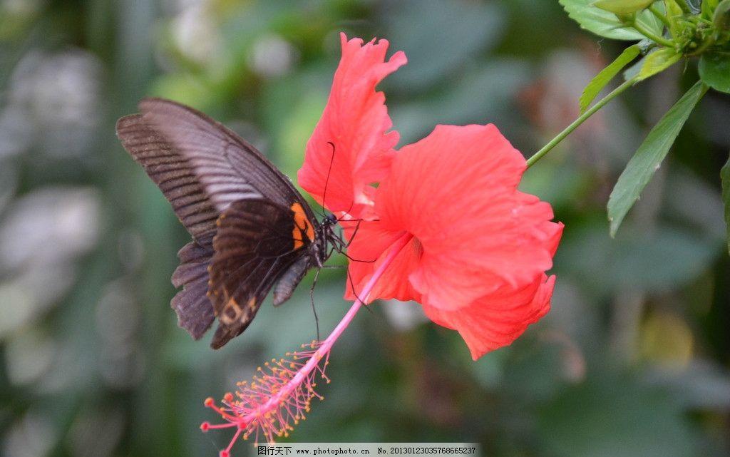蝴蝶采蜜瞬间 蝴蝶 动物 植物 花卉 自然 景观 扶桑花 花草 生物世界