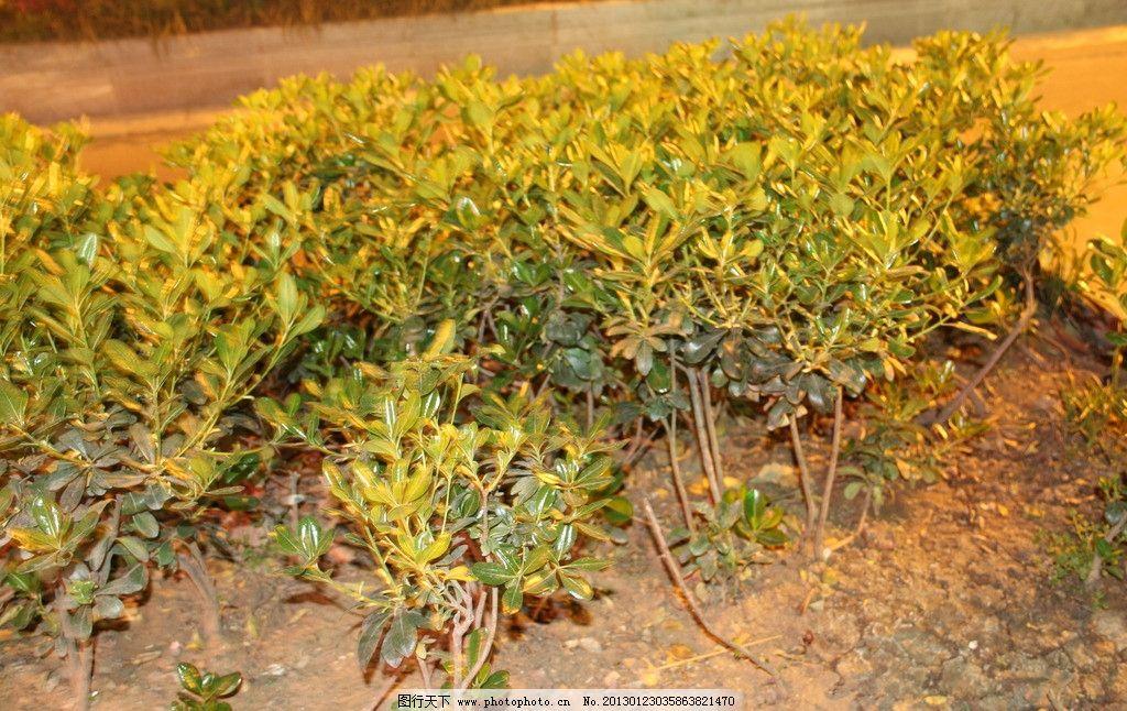 栽植灌木施工方案
