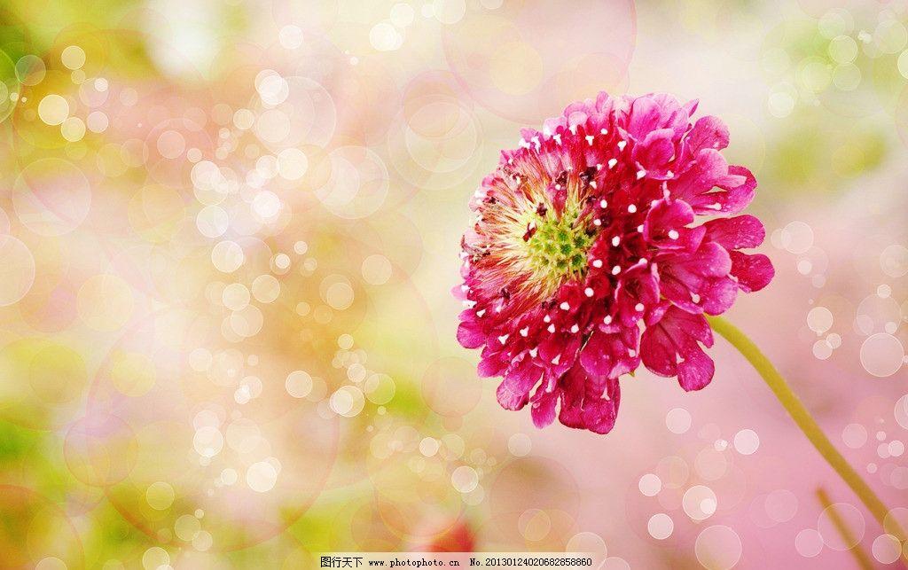 大丽花 菊花 花朵 鲜花 叶子 情人节 泡泡 气泡 圆圈 梦幻背景