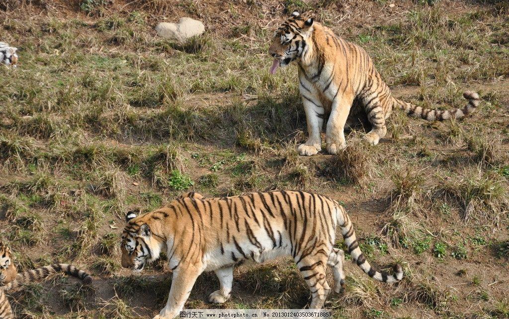 老虎 两老虎 草地 野生动物 生物世界 摄影 300dpi jpg