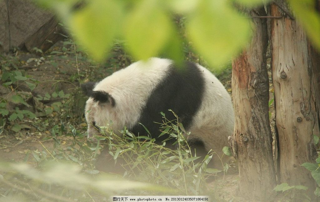 大熊猫 动物 雄性 嬉戏 动物园 照片 野生动物 生物世界 摄影 72dpi j