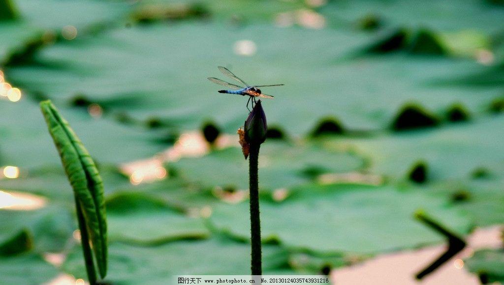 荷花花苞 蜻蜓图片