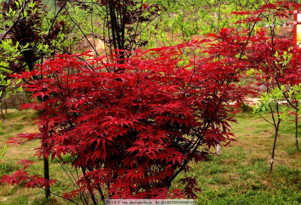 红叶 红叶树 草坪 石头 山坡 枣园 国内旅游 旅游摄影 摄影 72dpi jpg图片