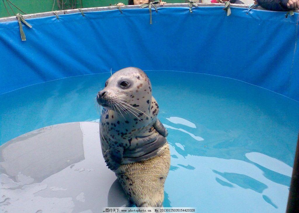 可爱的海豹图片
