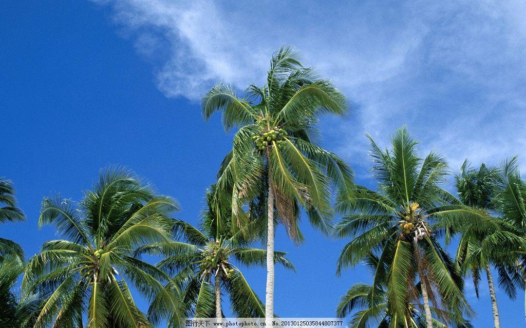 热带风光 蓝天 白云 椰树 树木树叶 生物世界 摄影 300dpi jpg
