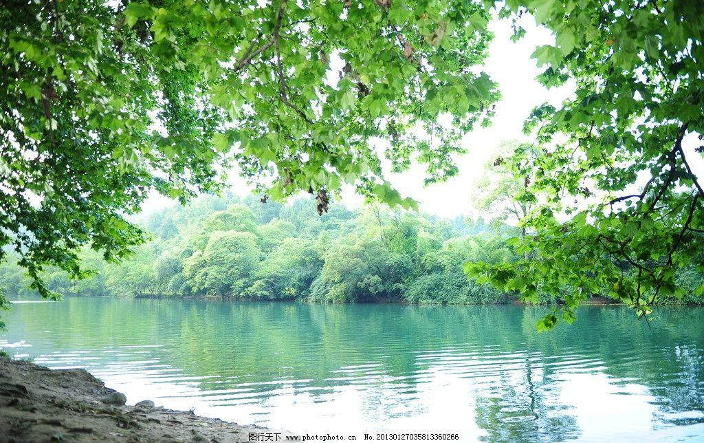 梧桐树 梧桐叶 倒影 水边 树木林荫 树木树叶 生物世界 摄影 300dpi