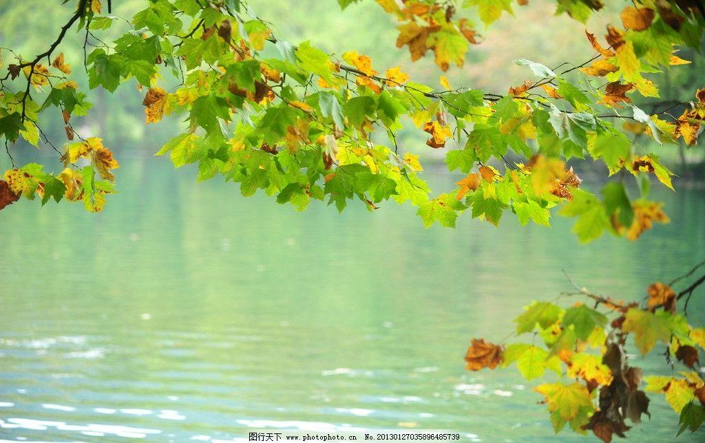 梧桐树 梧桐叶 倒影 水边 树木林荫 树木树叶 生物世界 摄影 300dpi j