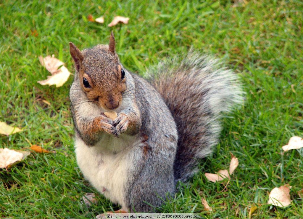 可爱小松鼠 可爱动物 动物写真 绿色草坪 绿色草地 野生动物 生物世界