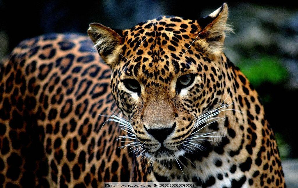 金钱豹 野生 动物 特写 优雅 正面 花纹 野生动物 生物世界 摄影 300