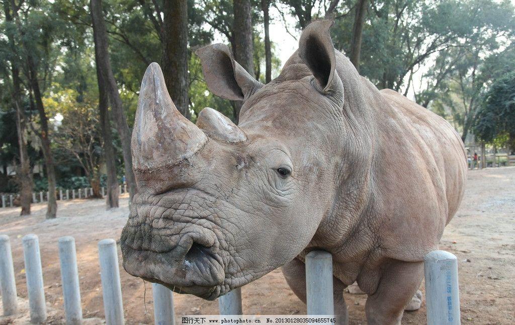 白犀牛 犀牛 动物园 广州动物园 野生动物 生物世界 摄影 72dpi jpg