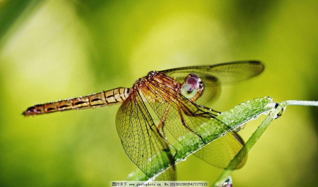 蜻蜓 红色 昆虫 飞行 翅膀 夏天 动物 生命 生态 绿色 复眼 特写 休息