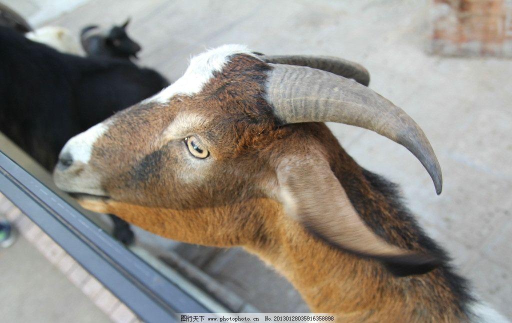 山羊 动物园 广州动物园 羊角 摄影