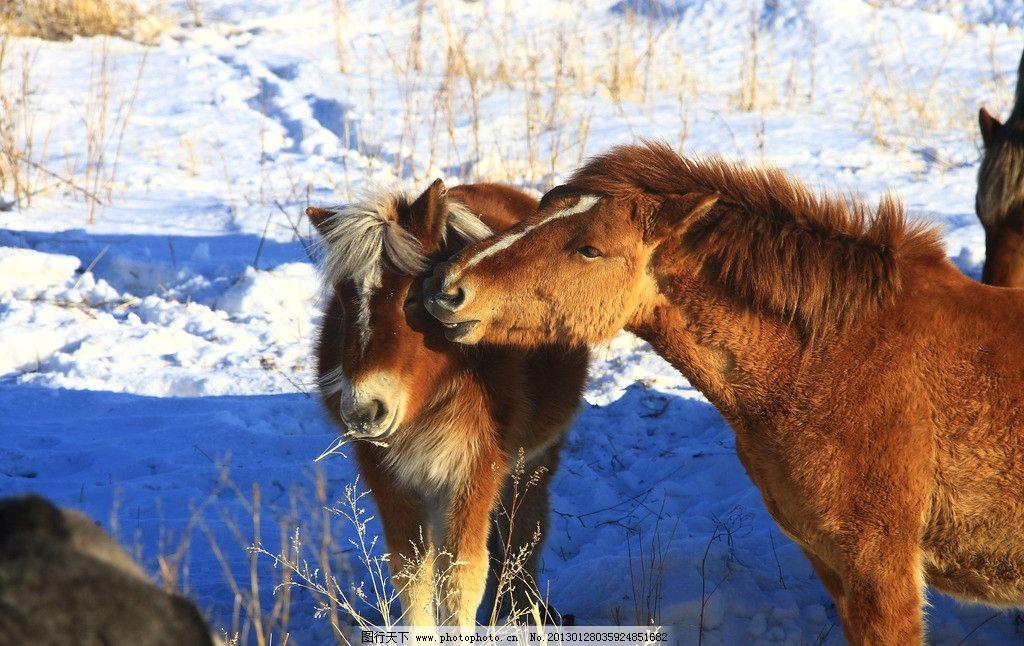 马匹 马 雪地 两只马 家禽家畜 生物世界 摄影 350dpi jpg