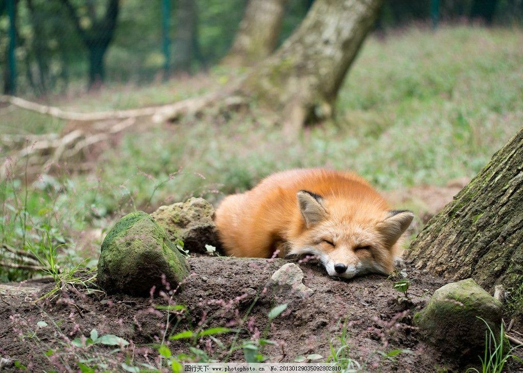 狐狸 野生动物图片