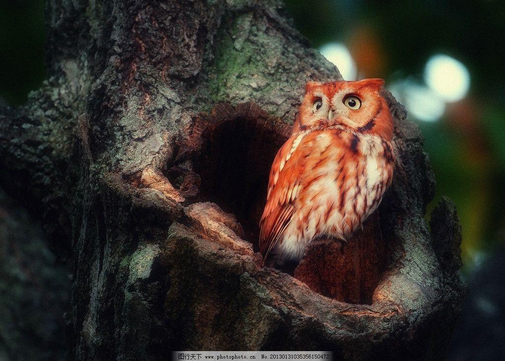 森林里的红色羽毛猫头鹰 森林 红色 羽毛 猫头鹰 绿树 大树 鸟类摄影