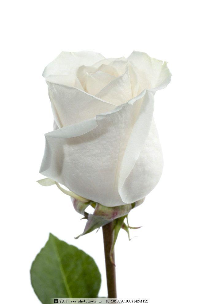 白玫瑰 玫瑰花 玫瑰 花卉 花瓣 葉子 鮮花 花草 生物世界 攝影 300dpi