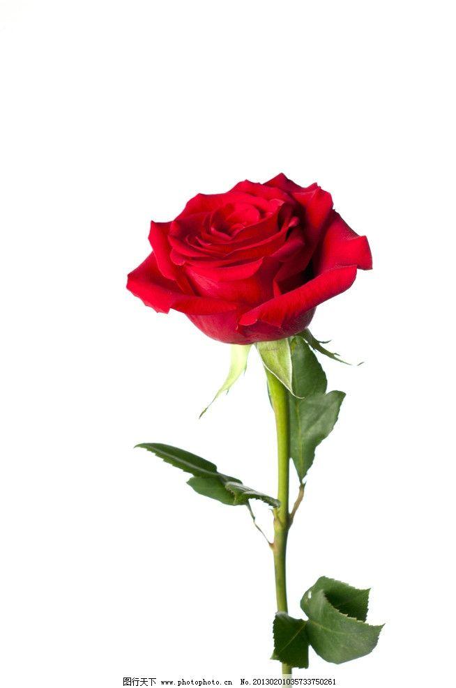 玫瑰花图片,花卉 花瓣 叶子 鲜花 花草 生物世界-图行