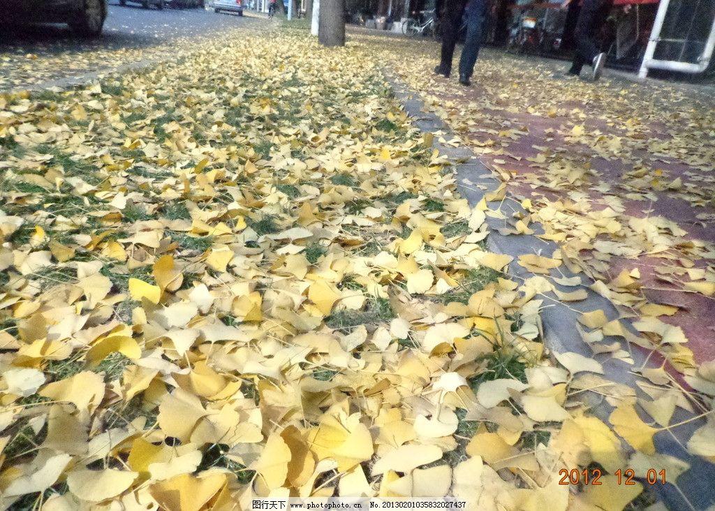 银杏散一地 秋天 银杏 散落 一地 树木树叶 生物世界 摄影 350dpi jpg