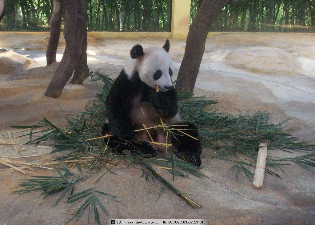 可爱熊猫 香江野生动物园 吃竹子 野生动物 生物世界 摄影 230dpi jpg