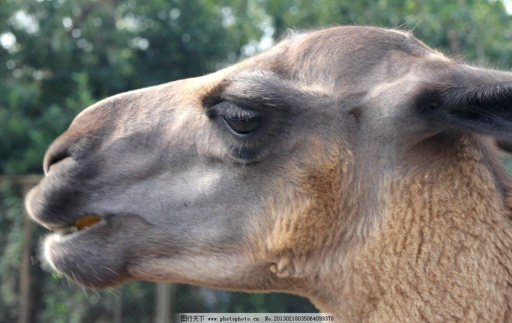 羊驼 野生动物图片