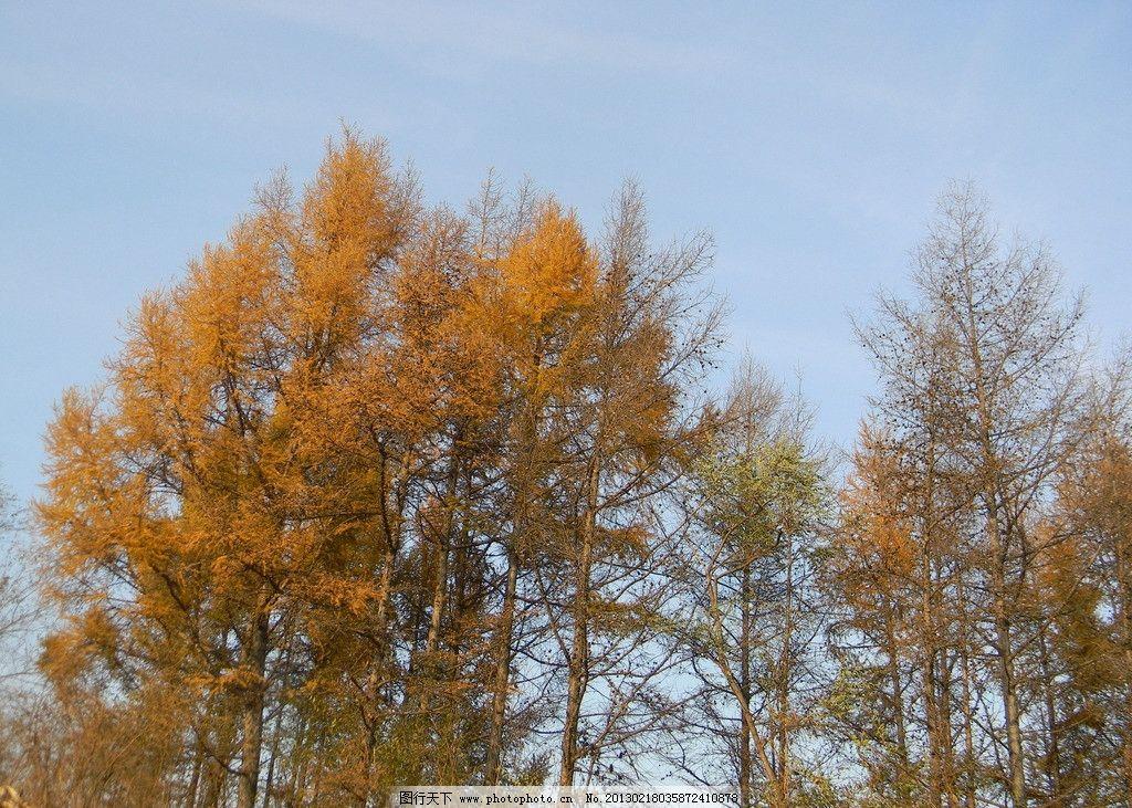 落叶松树 松树 秋季 秋天 蓝天松树 松树林 树木树叶 生物世界 摄影 3