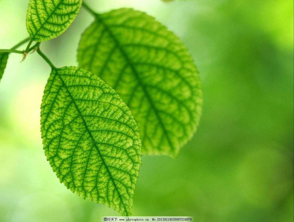 树叶 叶子 叶脉 绿色 植物