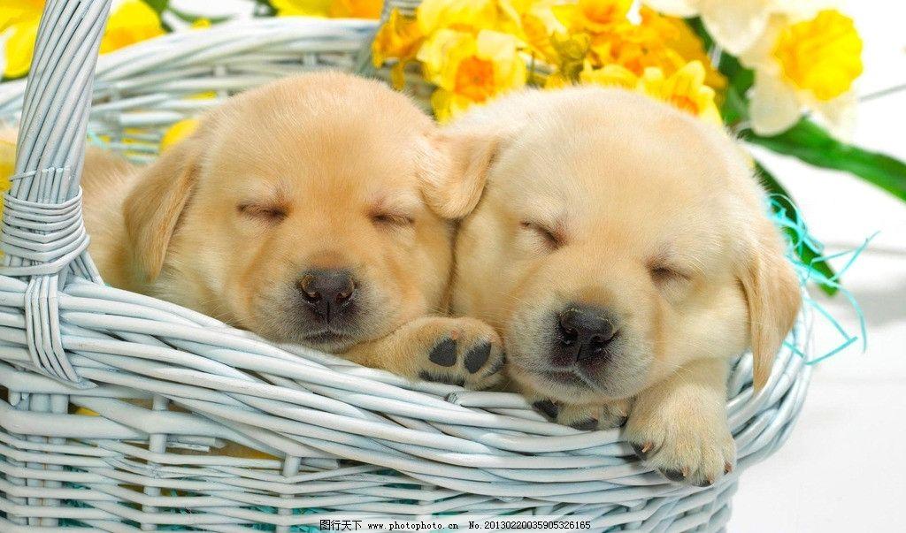 金毛 宠物 狗狗 寻回猎犬 幼犬 导盲犬 睡觉 卖萌 动物 生物世界 家禽