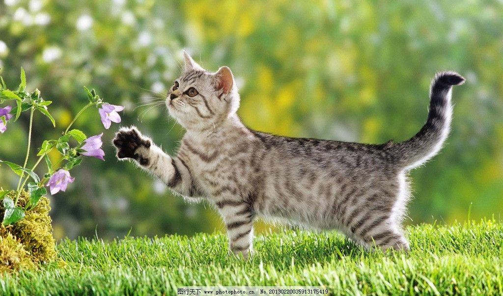 猫咪 宠物 小猫 狸猫 草地 花朵 户外 嬉戏 春天 动物 生物世界 家禽