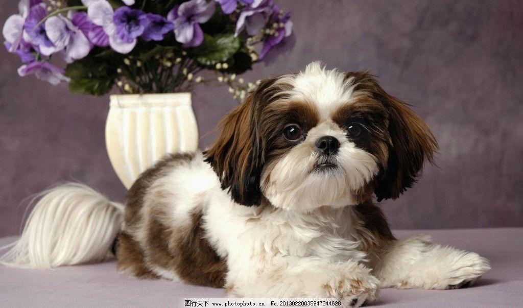 西施犬 宠物 狗狗 可爱 漂亮 花瓶 动物 生物世界 家禽家畜 摄影 72