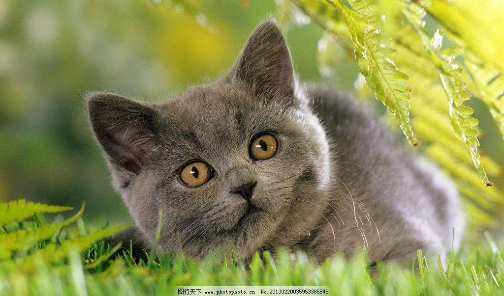 猫咪 宠物 小猫 灰猫 草地 户外 嬉戏 春天 动物 生物世界 家禽家畜
