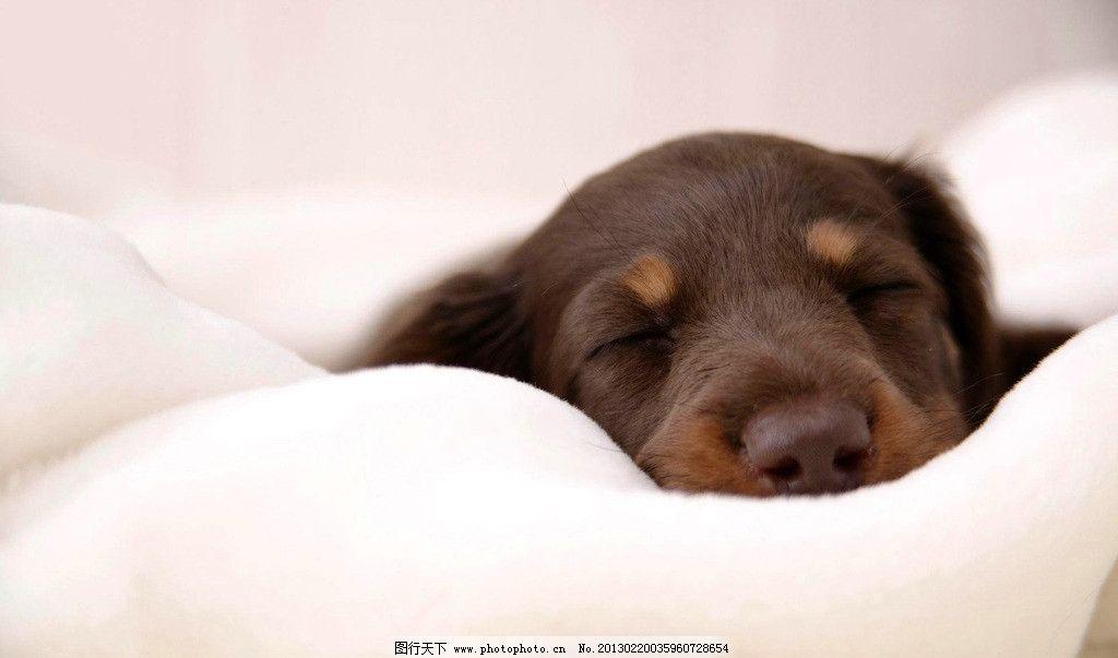 杜宾犬 宠物 狗狗 猎犬 幼犬 睡觉 可爱 摄影 动物