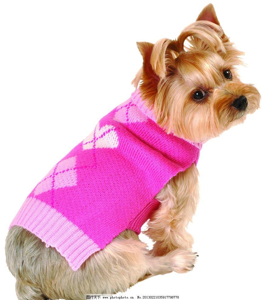 粉红菱形图案毛衣 穿衣服的小狗 宠物狗 动物 小狗的图片 犬类图片 狗