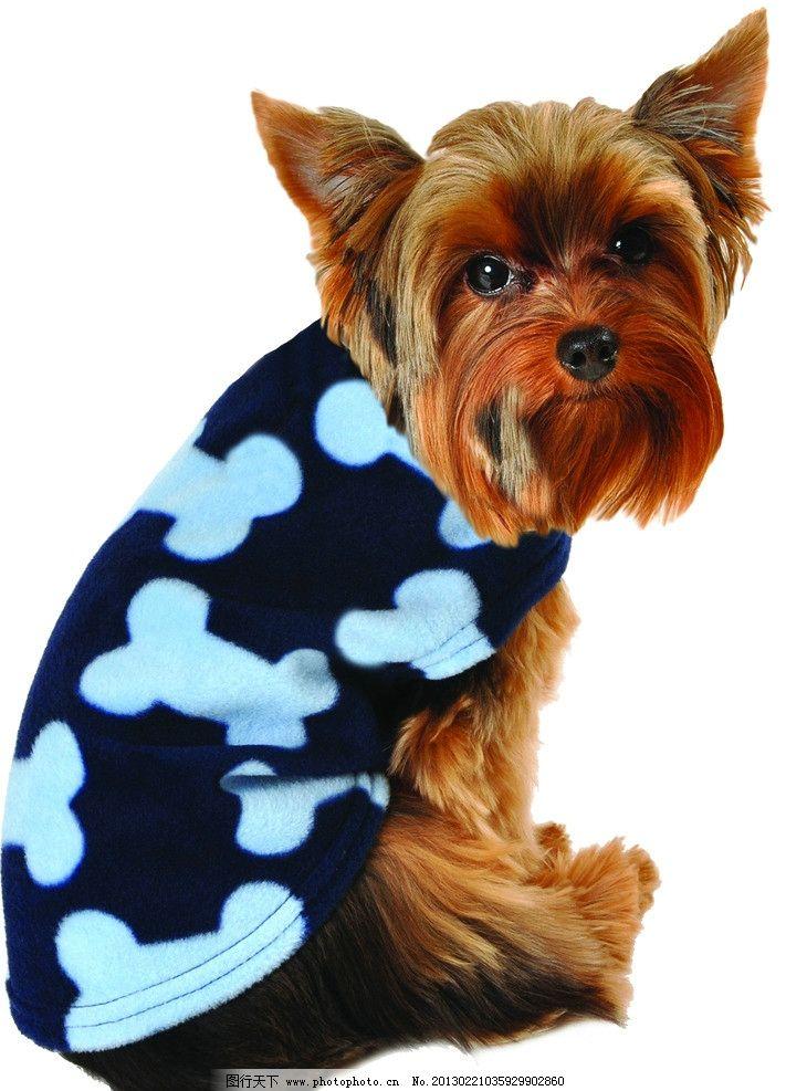 蓝骨头纹夹克 蓝骨 头纹夹克 穿衣服的小狗 宠物狗 动物 小狗的图片