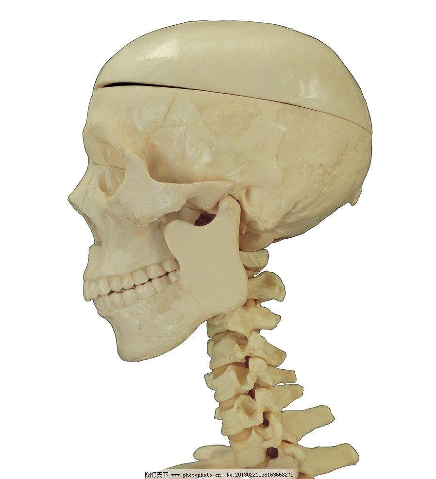 人体骨骼 骨骼 骨头 人骨