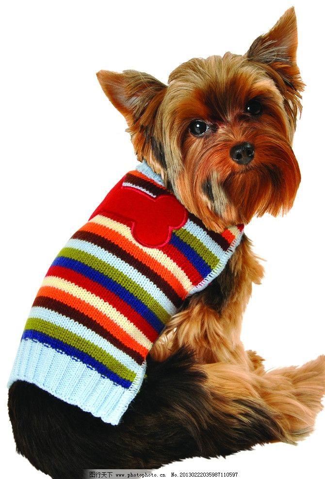 家禽家畜  彩条毛衣小狗 彩条毛衣 穿衣服的小狗 宠物狗 动物 小狗的