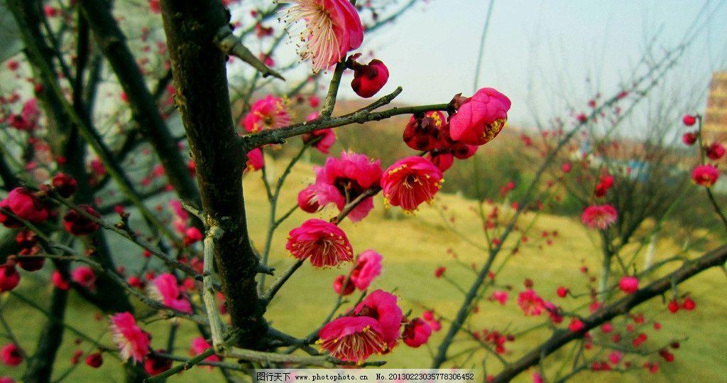 梅花 红色花 黄色花心 花蕾 蓝天 建筑 其他树木 花草 生物世界 摄影