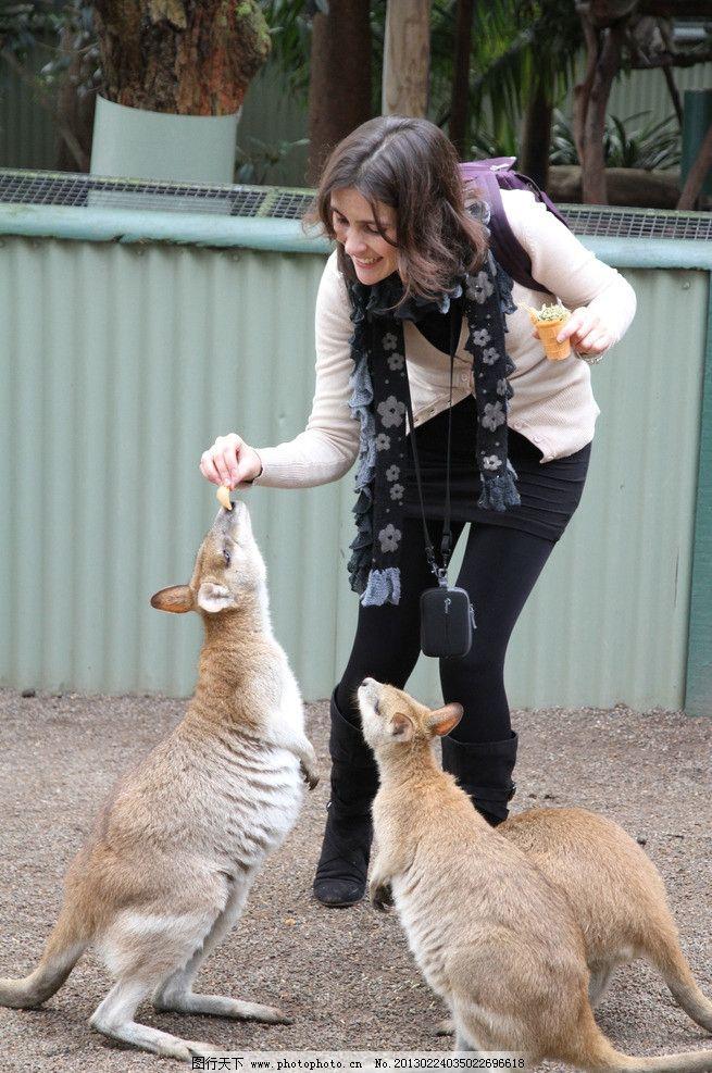 澳洲袋鼠 澳大利亚悉尼动物园袋鼠 袋鼠 喂袋鼠 澳大利亚袋鼠 野生