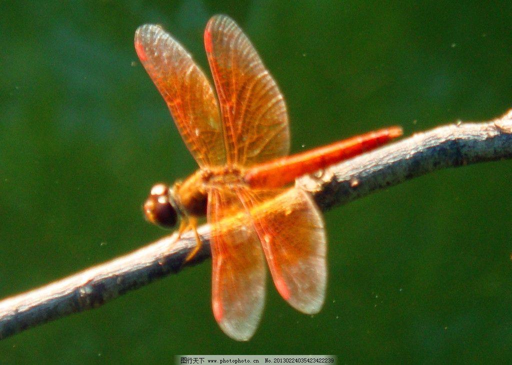 蜻蜓 昆虫 红色飞翔动物 水塘 碧水 树木 生物世界 摄影 72dpi jpg