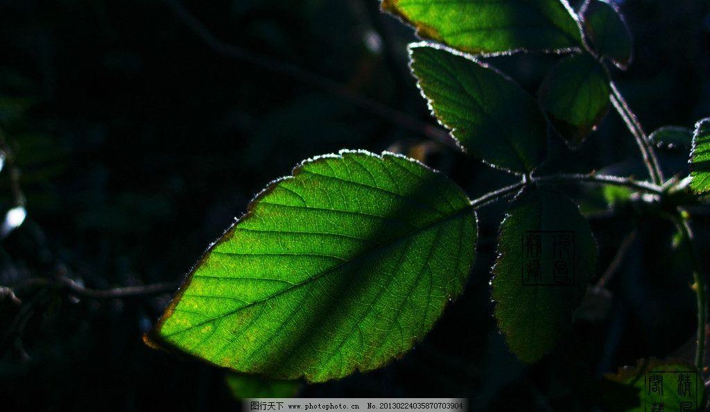 光影绿叶 绿叶 树枝 树木树叶 生物世界 摄影 300dpi jpg