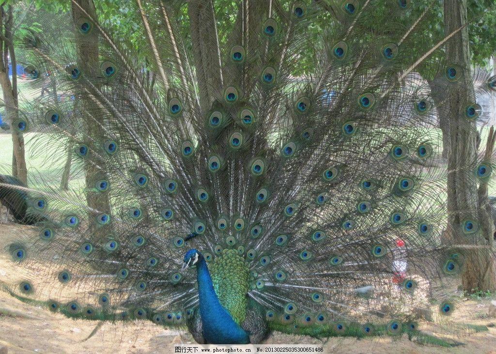 孔雀开屏 武汉动物园 孔雀 鸟类 生物世界 摄影 180dpi jpg
