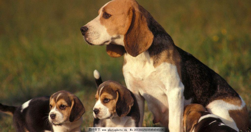 小狗 卖萌 可爱 金毛 犬舌头 宠物 耳朵 家禽家畜 生物世界 摄影 72