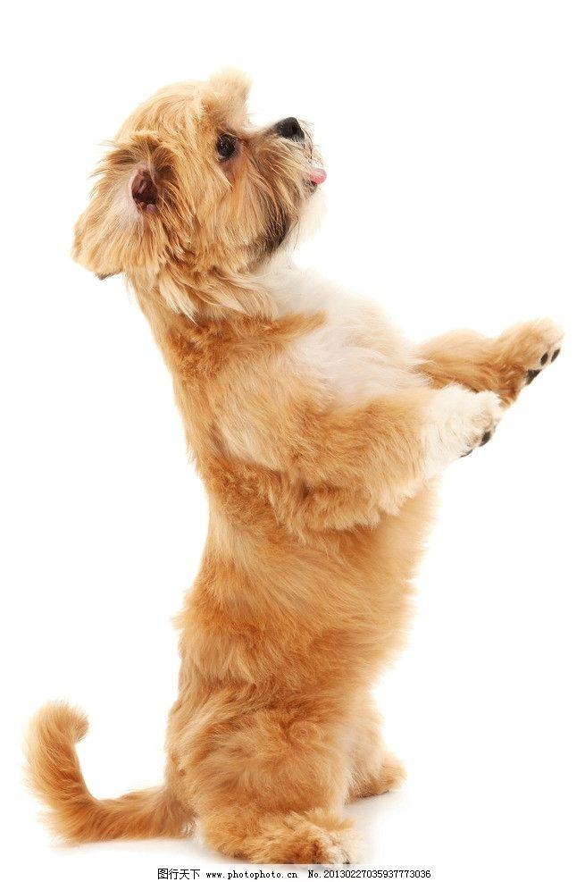 宠物狗摄影图片,可爱 站立 吉娃娃 动物 高清摄影-图