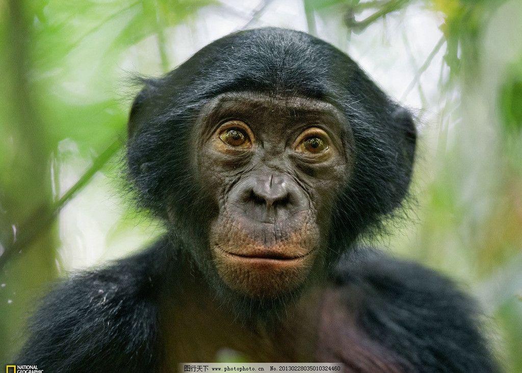 猩猩 小猩猩 可爱 非洲 高清 摄影 动物 野生 灵长类 野生动物 生物