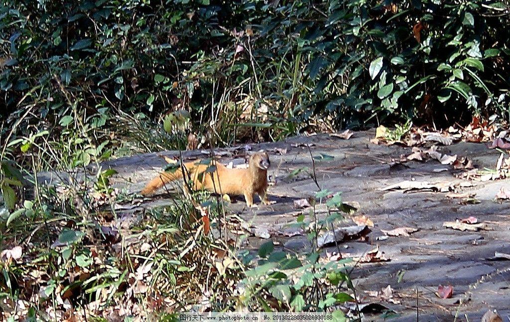 黄鼠狼 南京 紫金山 永慕庐 野生动物 生物世界 摄影 350dpi tif