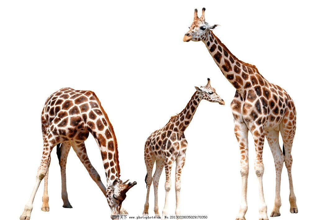 长颈鹿图片_野生动物_生物世界_图行天下图库